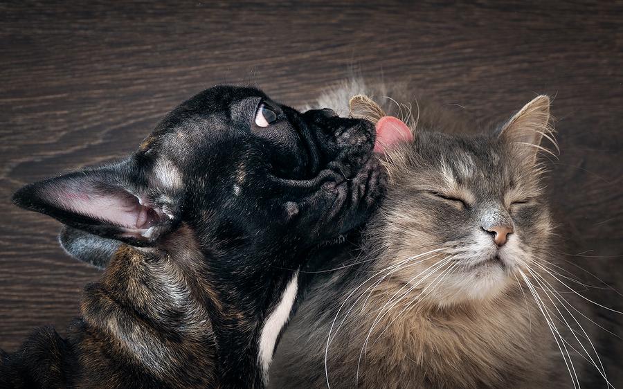 Dog licking cat
