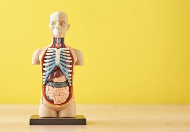 Anatomical model of human body with internal organs on yellow background.